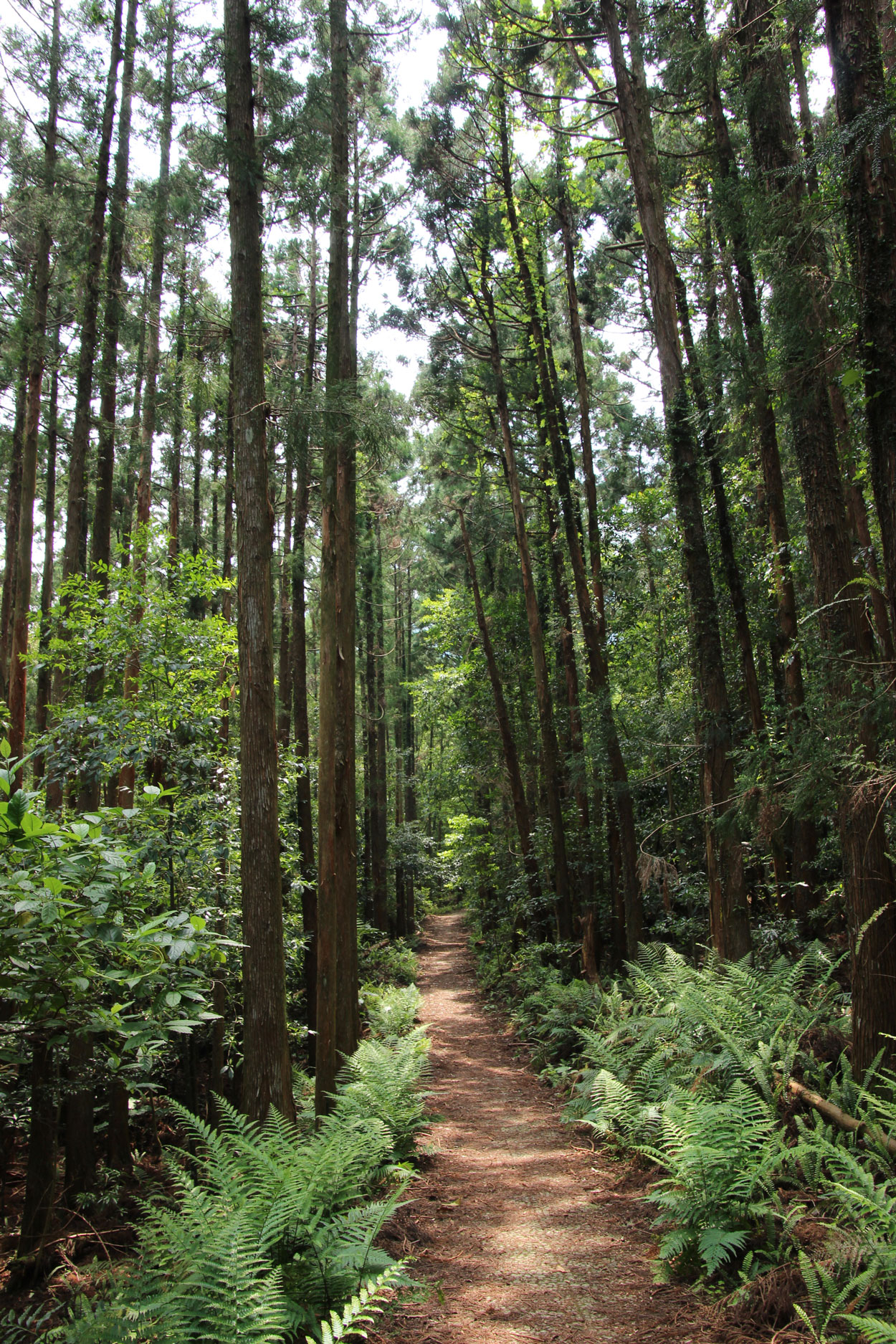 Path in Yakushima forest in Japan.