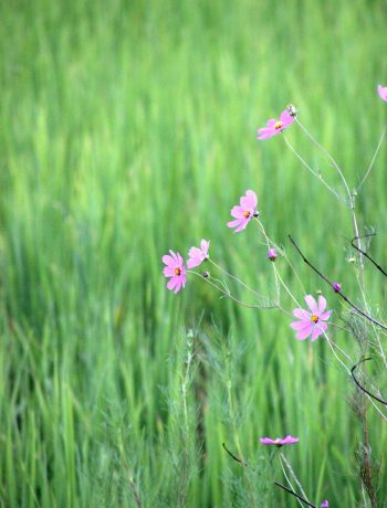 Field of grass with flowers.