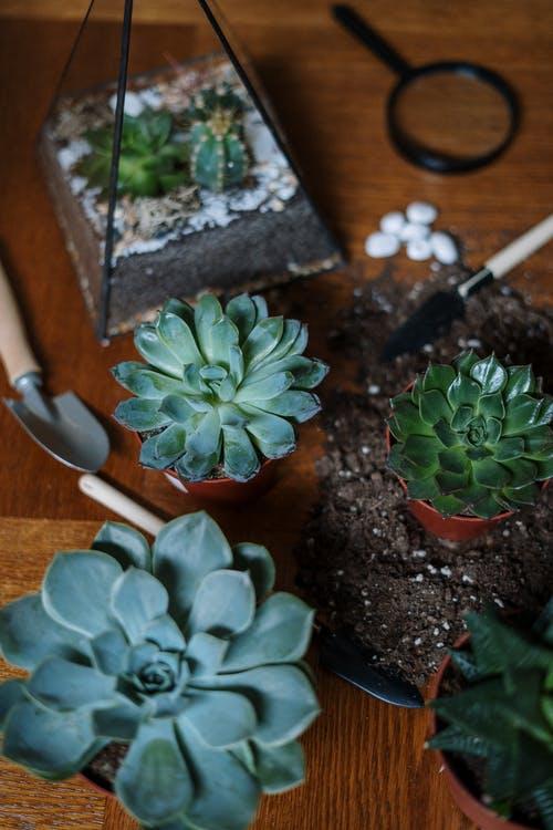 Propagating succulents into pots.